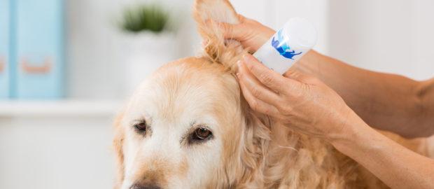Tudnivalók a kutyák fültisztításról